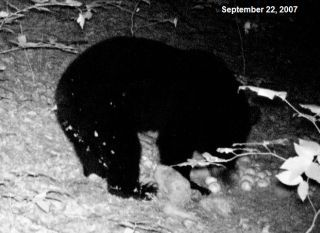 Black bear captured by tail cam.
