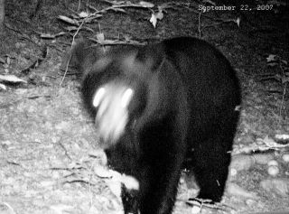Gaylord Michigan Black Bear captured by trail cam.