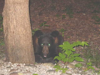 A rare cinnamon black bear.