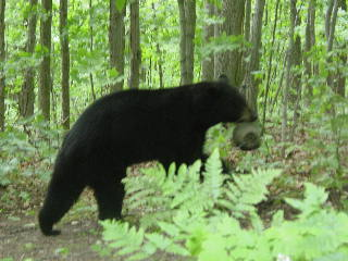Black bear takes a bird feeder into the woods.