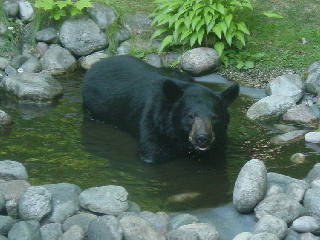 Black bear taking a refreshing dip in our garden pond in Gaylord Michigan.