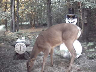 Deer having a little snack before heading back into the woods. June 19, 2007