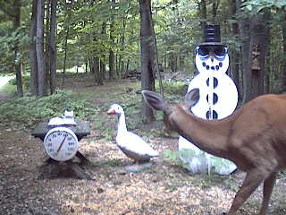 Michigan whitetail deer looking at the snowman. June 20, 2007